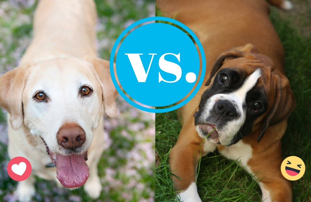 Lab vs. Boxer- Ruffing it