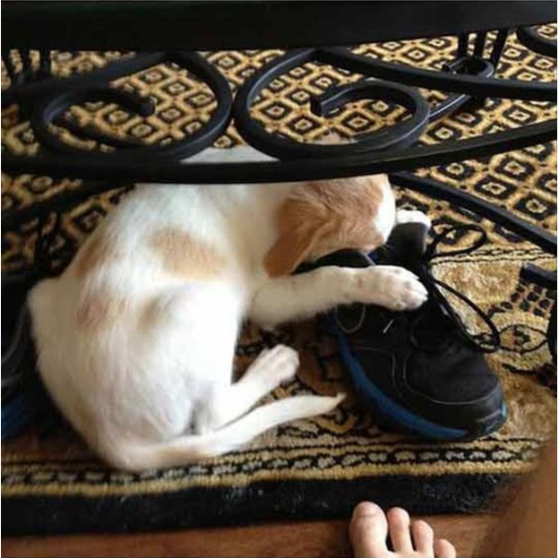 Puppy sniffing a shoe -Ruffing it