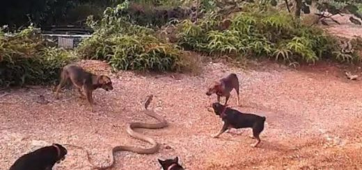 dogs against cobra- Ruffing it