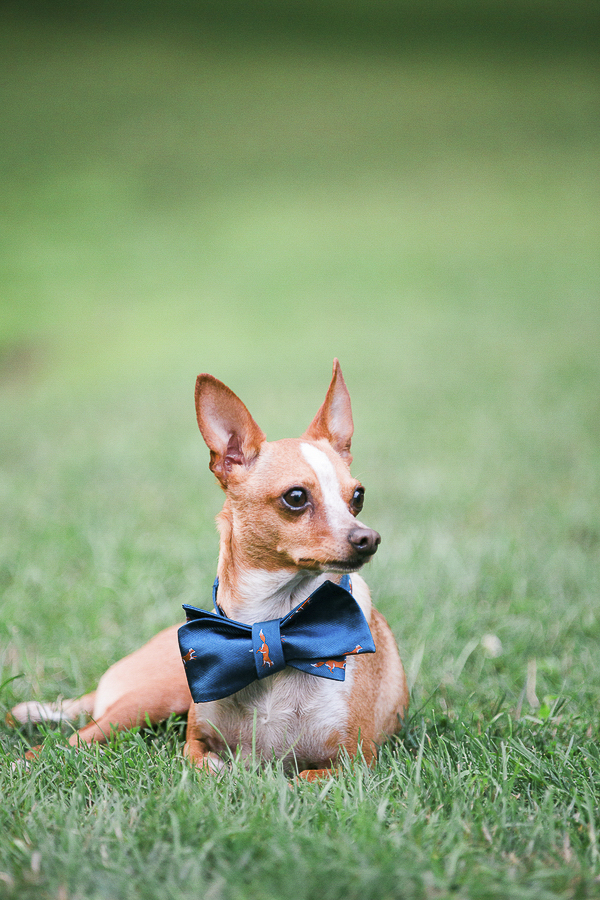 handsome Chi with blue bow tie, small dog on grass, lifestyle dog photography