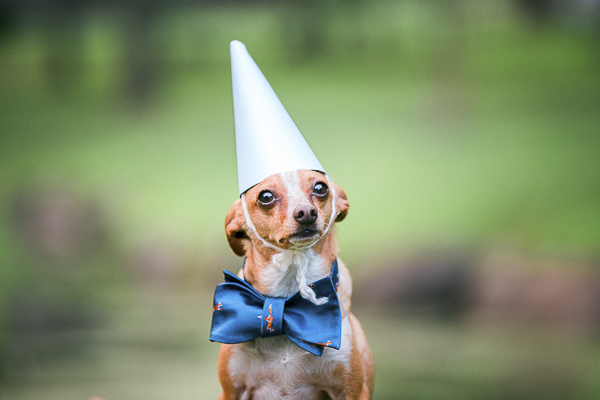 rescued Chihuahua wearing pointed hat and fox bow tie,