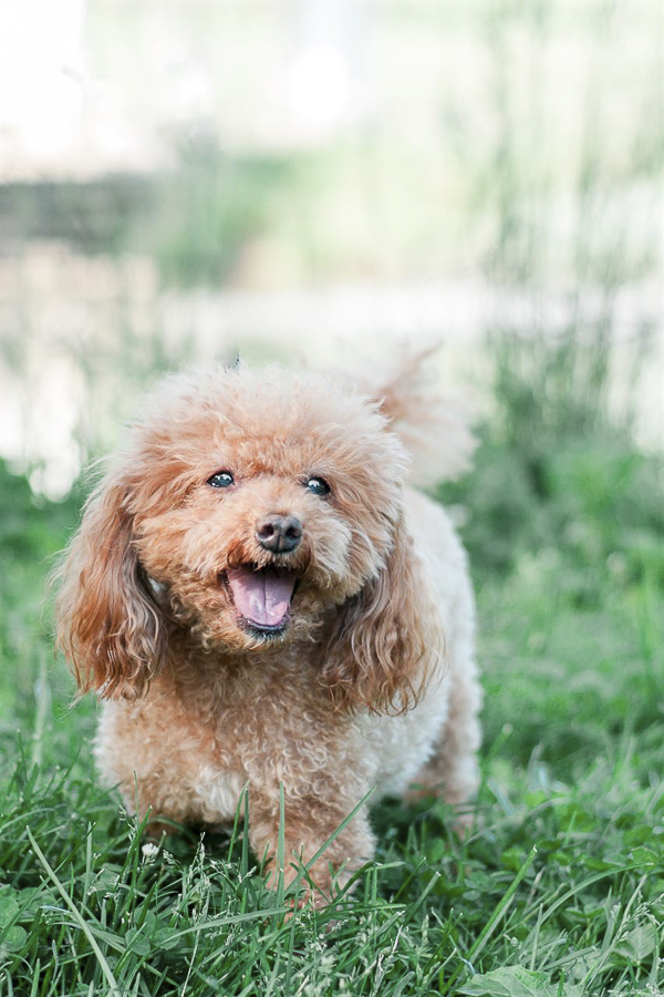 adorable little Poodle, spring pet photography