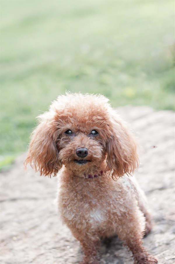 apricot miniature Poodle, lifestyle dog photography