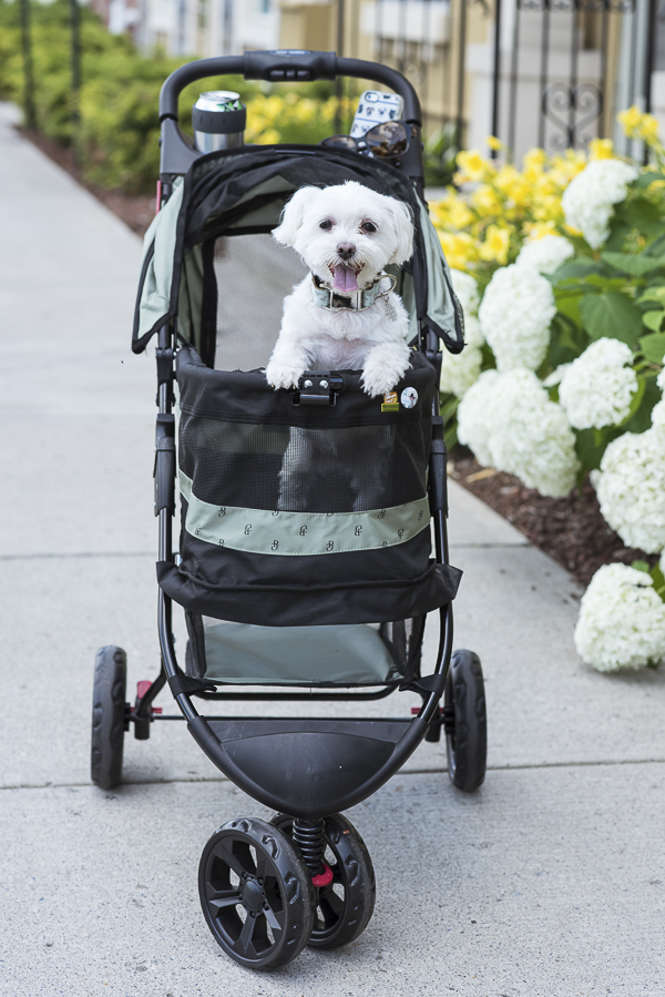 Maltese in pet stroller, hydrangeas, day lilies in bloom